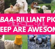 9 Baa-rilliant Pics That Show Why Sheep Are Awesome! (There Are Two Free Patterns Too!)